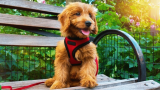 How To Measure For a Harness Dog Jacket? Get The Best Tips For Measurements